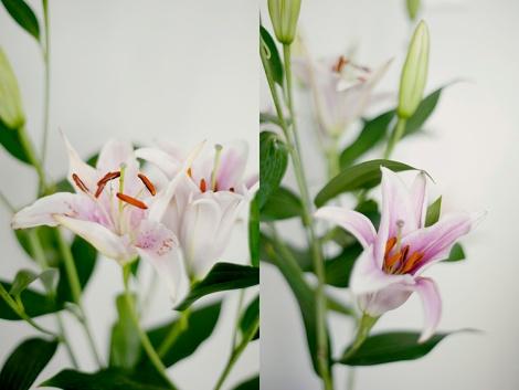 liles flower